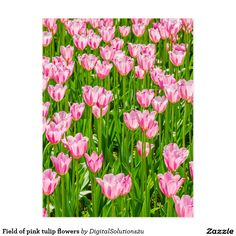 Field of pink tulip flowers postcard