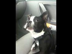 Boston Terrier Talking dog!!!!!!!!!!!!!!!!!!!!