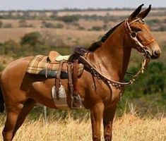 I want a mule! Large Animals, Animals And Pets, Cute Animals, All The Pretty Horses, Beautiful Horses, Mules Animal, Horse Breeds, Horse Love, Wild Horses
