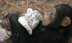 Chimpanzee helps raise white tiger cub (and other animals). Animals And Pets, Baby Animals, Funny Animals, Cute Animals, Beautiful Creatures, Animals Beautiful, White Tiger Cubs, White Tigers, Orangutan