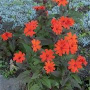 "Lychnis x arkwrightii 'Vesuvius', short-lived, 18"", sun/part shade, propogate by division or seed"