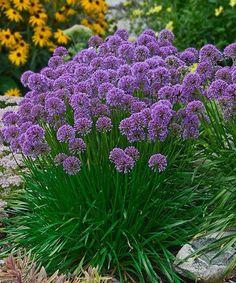 Milleniun Perennial Allium