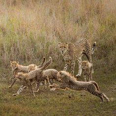 Playing tag with my siblings with our furry manes flowing. - Crowdfunding - Ideas of Crowdfunding - Playing tag with my siblings with our furry manes flowing. Big House Cats, Big Cats, Primates, Beautiful Cats, Animals Beautiful, Lynx, Cheetah Cubs, Cheetah Family, Animals And Pets