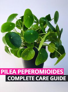 Guide to teach you correct Pilea Peperomioides (Chinese Money Plant) care - get your thriving! Guide to teach you correct Pilea Peperomioides (Chinese Money Plant) care - get your thriving! Money Plant Care, Garden Plants, House Plants, Potted Plants, Trees To Plant, Plant Leaves, Indoor Gardening Supplies, Peperomia Plant, Chinese Money Plant