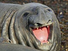 buffo il sorriso dell'elefante marino eh? :)