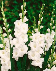 Perennial Gladiolus Flower Seeds, Rare Sword Lily Seeds for DIY HOME garden planting Aerobic potted plants decoration Gladiolus Flower, Line Flower, Garden Types, Blooming Plants, Bulb Flowers, White Gardens, Flower Seeds, Planting Flowers, Flowers Garden