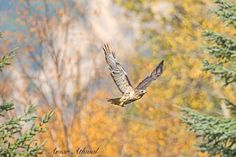 Juvenile hawk flying through the air with fall colours in the background. Many of the migratory birds have left for a warmer place for the winter, but few are still around or travelling trough. Amar
