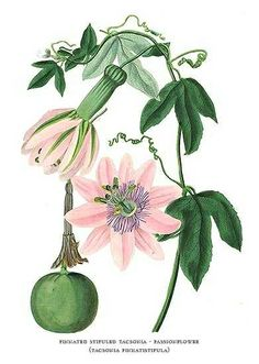 Botanical Print by Paxton of Passion Flower and Fruit