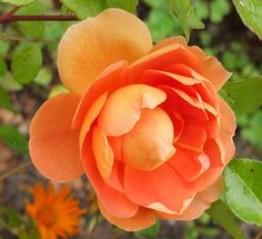 Rosa Pat Austin.........Giving orange roses symbolizes your passion and excitement of a relationship