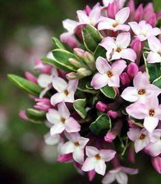 Daphne, can& you just smell it! My favorite flower fragrance. Daphne, can& you just smell it! My favorite flower fragrance. Daphne, can& you just smell it! My favorite flower fragrance. Daphne Flower, Winter Flowers, Language Of Flowers, Beautiful Flowers, Fragrant Flowers, Trees To Plant, Flowers, Trendy Flowers, Fragrant Plant