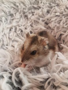 Somehow i got a shot of this girl being still #aww #Cutehamsters #hamster #hamstersofpinterest #boopthesnoot #cuddle #fluffy #animals #aww #socute #derp #cute #bestfriend #itssofluffy #rodents