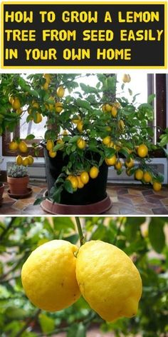 How to grow lemon tree from seed easily in your own home. #backyard #no grocery store #frugal tips #saving money Citrus fruits are used worldwide because of their health and beauty benefits. Besides being used for cooking purposes, citrus fruits have many therapeutic prope Health and beauty have many cathegories, choose what works for you and follow our board.