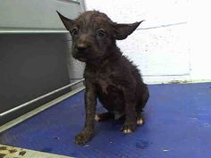 ABANDONED at KILL Shelter - LUCKY (A1605683) I am a male black Terrier mix. The shelter staff think I am about 8 weeks old. I was turned in by my owner and I am available for adoption. — hier: Miami Dade County Animal Services https://www.facebook.com/urgentdogsofmiami/photos/a.470960256271716.114441.191859757515102/748173185217087/?type=3&theater