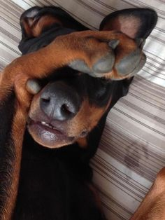 The Doberman Pinscher is among the most popular breed of dogs in the world. Known for its intelligence and loyalty, the Pinscher is both a police- favorite I Love Dogs, Cute Dogs, Black And Tan Terrier, Doberman Love, Blue Doberman, Doberman Pinscher Dog, Dog Life, Dachshund, Best Dogs