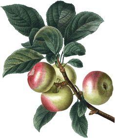 Botanical Apples Image