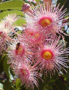 Pink flowering eucalyptus.