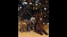 President Richard Nixon's dogs in front of a Christmas tree. December 12, 1971 (Photo by Nixon Presidential Materials, NARA)