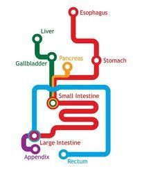 #Gastrointestinal (GI) Anatomy: Simplified and Streamlined. A good #visualization on the abdomen for Sign Language and #ASL #interpreters to utilize for classifiers in medical and other settings mentioning these systems.