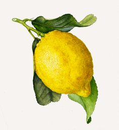 Click to enlarge illustration: Lemons