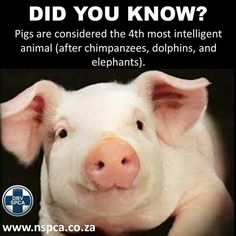 Pigs are so cool.