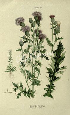 Canada Thistle, cnicus arvensis      ...