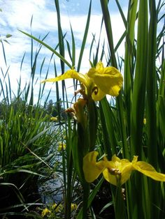 Yellow Iris Photo by Maria J. -- National Geographic Your Shot