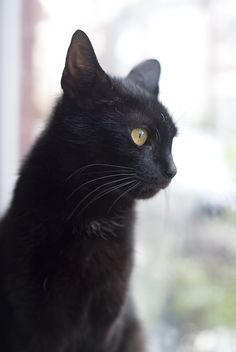 Cocoa - Black - Domestic Shorthair ~3 yrs old Cocoa is a loving girl and chirrups to converse with you, however, she prefers to be an only cat and hasn't lived with dogs. Abandoned by her previous owners whilst heavily pregnant she came in and gave birth to a healthy litter of 5.