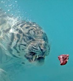 Wow, hungry tiger underwater.