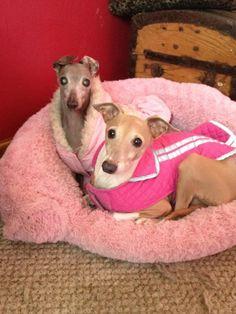 My italian greyhounds