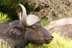 Sleeping African Buffalo Syncerus caffer Sleeping African buffalo or Cape buffalo is a large African bovine. It is not closely related to the slightly larger wild water buffalo of Asia and its ancestry remains unclear.