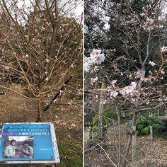【tai1chito2】さんのInstagramをピンしています。 《Cherry blossoms (sakura, 樱花, 벚꽃) area, Kyoto Botanical Garden. Early blossoming breeds.  今日は府立植物園も散歩。桜林は100種類以上の桜が植えられてて開花時期は見るのが楽しいですが、既に咲いている品種がいくつか。  #京都府立植物園 #植物園 #京都 #桜 #cherryblossoms #cherryblossom #sakura #kyoto #kyotobotanicalgardens #kyotobotanicalgarden #botanicalgarden #kyoto #樱花 #벚꽃 #교토》