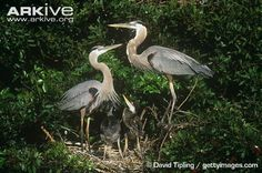 Great blue heron pair on nest with chicks
