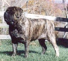 Boys-Old English Mastiff Dogs Top Pedigree Puppies English Mastiff Breeders, Old English Mastiffs, Mastiff Breeds, Mastiff Dogs, Mastiff Puppies For Sale, Cant Wait, Fashion Styles, Animals And Pets, North America