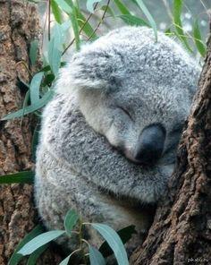 Милая коала Всем добра :3