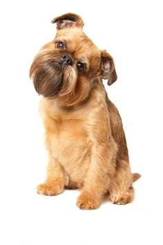 The Brussels Griffon Dog, but I dream.
