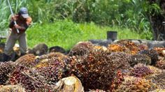 One Green Planet  Awesome News! France Plans Make a Palm Oil Tax to Protect Animals & Rainforest in Indonesia http://www.onegreenplanet.org/news/france-imposes-new-tax-on-palm-oil-imports …   Rainforest Alliance, Rainforest Trust, RAN and SOCP