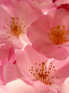 Cherry Blossom - Flower