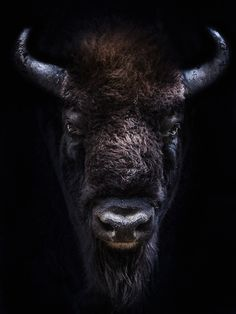 Wisent by georghaaser Black Box, Black And White, Dark Art, Animals Beautiful, Mythology, Pets, History, Amazing, Black White