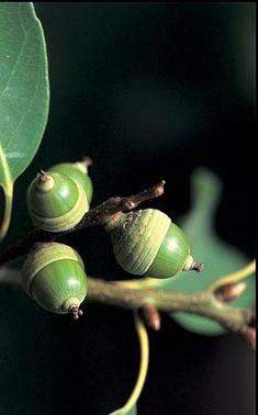 Still Life Pictures, Cute Pictures, Ikebana, Botanical Illustration, Acorn, Seeds, Fruit, Patterns, Plants