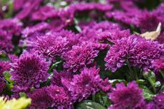 Purple Perennials, Flowers Perennials, Flower Identification, Beautiful Flowers Garden, Replant, Soothing Colors, Green Landscape, Chrysanthemum, Shades Of Purple