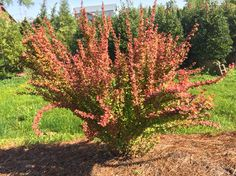 Orange Rocket Barberry in display beds at Southbranch Nursery