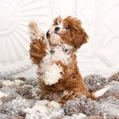 Follow us if you love Cavapoos! 🐕 To be featured follow @cavapooworld and use Tag #cavapooworld 🐕 This photo belong Follow Us, Cavapoo, Love You, Tags, World, Animals, Instagram, Te Amo, Animales