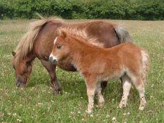 Shetland Pony. I want to get a Shetland pony for my kids.