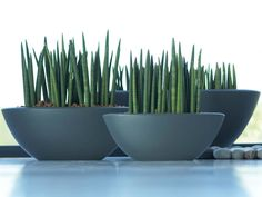 Sansevieria cylindrica – Cylindrical Snake Plant - See more at: http://worldofsucculents.com/sansevieria-cylindrica-cylindrical-snake-plant