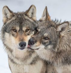 Animals, Street, Natural, Landscape and more. Beautiful Wolves, Animals Beautiful, Cute Animals, Wolf Photos, Wolf Pictures, Wolf World, Wolf Husky, Wolf Photography, Wolf Life