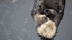 HI. My name is Angie — gifsboom:   1 Day Old Sea Otter Trying to Sleep on...