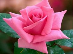 pictures of american roses society Beautiful Rose Flowers, All Flowers, Exotic Flowers, Amazing Flowers, Rose Reference, Morning Rose, Rare Orchids, Rose Of Sharon, Hybrid Tea Roses