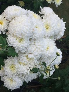 Snow ball chrysanthemums