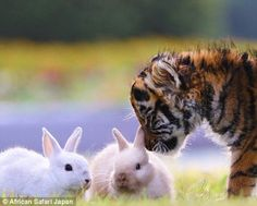 This curious tiger cub is seen sniffing the bunnies, who in turn appear to be completely unafraid of the big cat