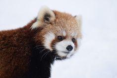 円山動物園 ココ Red pandas レッサーパンダ 小熊猫